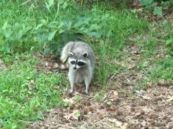 Begging Raccoon @ Tyler State Park