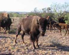bison_herd_600x480